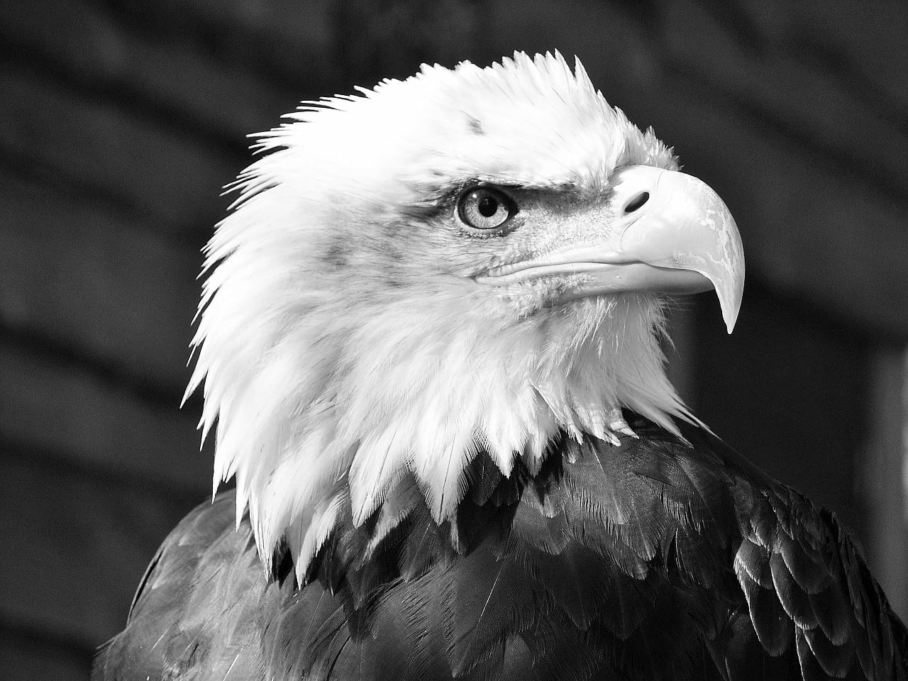 bald-eagle-550804_1280 (2)